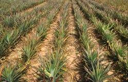 Giacimento della frutta dell'ananas in Tailandia Immagini Stock