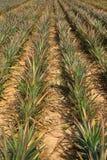 Giacimento della frutta dell'ananas in Tailandia Immagine Stock Libera da Diritti