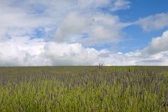 Giacimento della lavanda del cielo blu Fotografie Stock Libere da Diritti