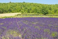 Giacimento della lavanda nel sud della Francia Fotografia Stock Libera da Diritti