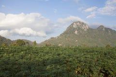 Giacimento della manioca Fotografia Stock