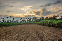 Giacimento della manioca dopo il raccolto Immagini Stock Libere da Diritti