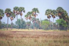 Giacimento della palma da zucchero fotografia stock