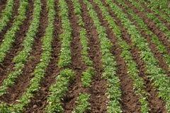 Giacimento della patata Fotografia Stock