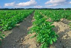 Giacimento della patata Fotografia Stock Libera da Diritti