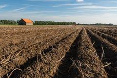 Giacimento della patata appena prima il raccolto Immagine Stock Libera da Diritti