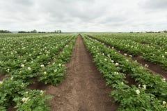 Giacimento della patata con le piante Fotografie Stock