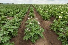 Giacimento della patata con le piante Fotografia Stock Libera da Diritti