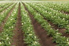 Giacimento della patata con le piante Fotografie Stock Libere da Diritti