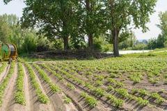 Giacimento della patata con le piante di patate Fotografia Stock Libera da Diritti
