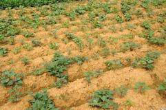Giacimento della patata dolce Fotografia Stock Libera da Diritti