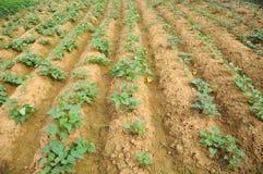 Giacimento della patata dolce Fotografia Stock