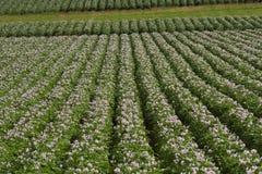 Giacimento della patata in fiore Fotografie Stock Libere da Diritti