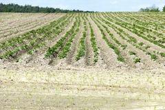 Giacimento della patata, molla Fotografie Stock
