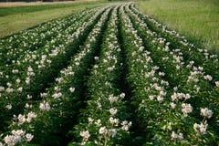 Giacimento della patata nel tempo di fioritura immagini stock