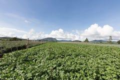 Giacimento della patata nel Vietnam Fotografia Stock Libera da Diritti
