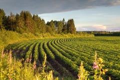 Giacimento della patata su un fondo della foresta prima del tramonto Immagine Stock Libera da Diritti