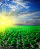 Giacimento della patata su un tramonto Fotografia Stock Libera da Diritti