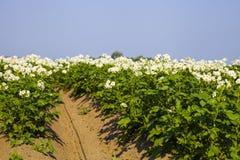 Giacimento della patata un giorno di estate fotografia stock libera da diritti