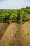 Giacimento della patata un giorno di estate soleggiato fotografie stock