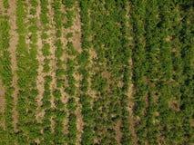 Giacimento della patata Vista da sopra Cime verdi delle file delle patate Fotografie Stock