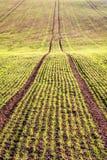 Giacimento della primavera con il grano di germinazione nelle linee Immagini Stock Libere da Diritti