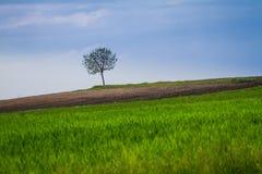 Giacimento della primavera con l'albero solo Fotografie Stock Libere da Diritti