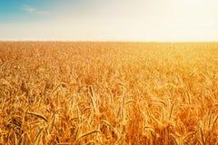 Giacimento della segale al sole Concetto ricco del raccolto Immagini Stock Libere da Diritti