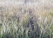 Giacimento della segale dell'orzo del grano dell'azienda agricola da sopra nella i ondulata sviluppata estate Fotografie Stock Libere da Diritti