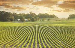 Giacimento della soia al tramonto Fotografia Stock Libera da Diritti