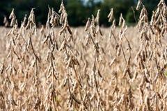 Giacimento della soia in autunno Immagini Stock Libere da Diritti