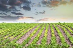 Giacimento della soia con le file delle piante di fagiolo della soia Fotografia Stock