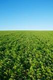 Giacimento della soia con soia fresca Fotografia Stock