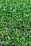 Giacimento della soia di estate Fotografia Stock