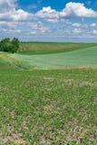 Giacimento della soia di estate Fotografie Stock