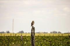 giacimento della soia ed uccelli dei gufi Fotografia Stock