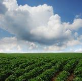 Giacimento della soia nel Dakota del Sud Immagini Stock Libere da Diritti