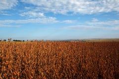 Giacimento della soia nella stagione del raccolto fotografia stock libera da diritti