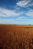 Giacimento della soia nella stagione del raccolto immagine stock