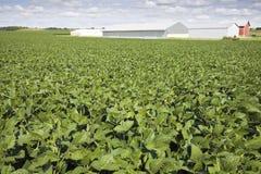 Giacimento della soia verde Fotografia Stock