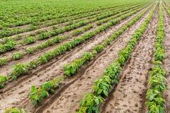 Giacimento della soia verde Immagini Stock Libere da Diritti