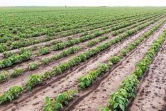 Giacimento della soia verde Fotografie Stock