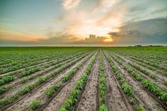 Giacimento della soia verde Fotografia Stock Libera da Diritti