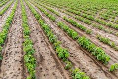 Giacimento della soia verde Immagine Stock