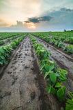Giacimento della soia verde Fotografie Stock Libere da Diritti