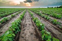 Giacimento della soia verde Immagine Stock Libera da Diritti