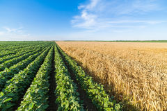 Giacimento della soia verde di fianco di grano maturo Fotografie Stock