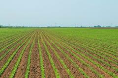 Giacimento della soia verde, file di giovane soia verde agricolo Fotografie Stock Libere da Diritti