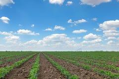 Giacimento della soia verde, file di giovane soia verde agricolo Immagini Stock