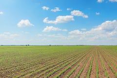 Giacimento della soia verde, file di giovane soia verde agricolo Fotografie Stock